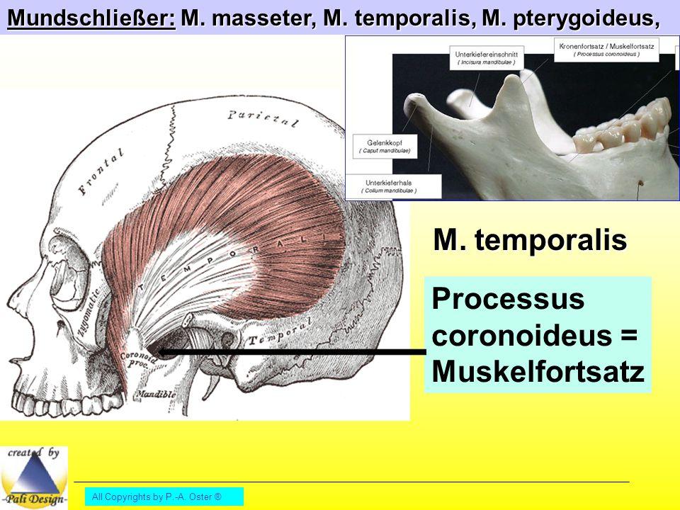 Processus coronoideus = Muskelfortsatz