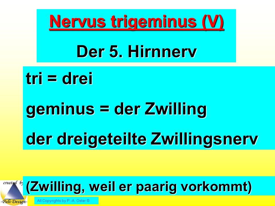 Nervus trigeminus (V) Der 5. Hirnnerv