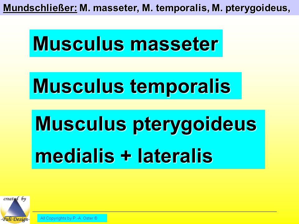 Musculus pterygoideus medialis + lateralis