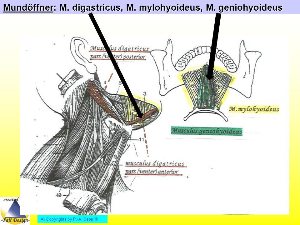 Mundöffner: M. digastricus, M. mylohyoideus, M. geniohyoideus