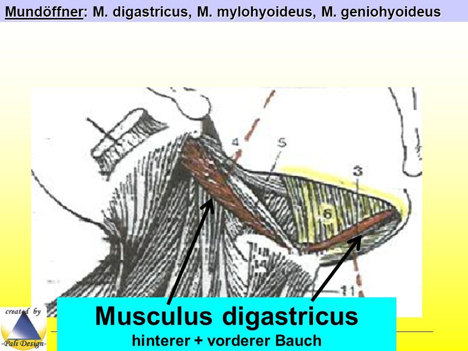 Musculus digastricus hinterer + vorderer Bauch