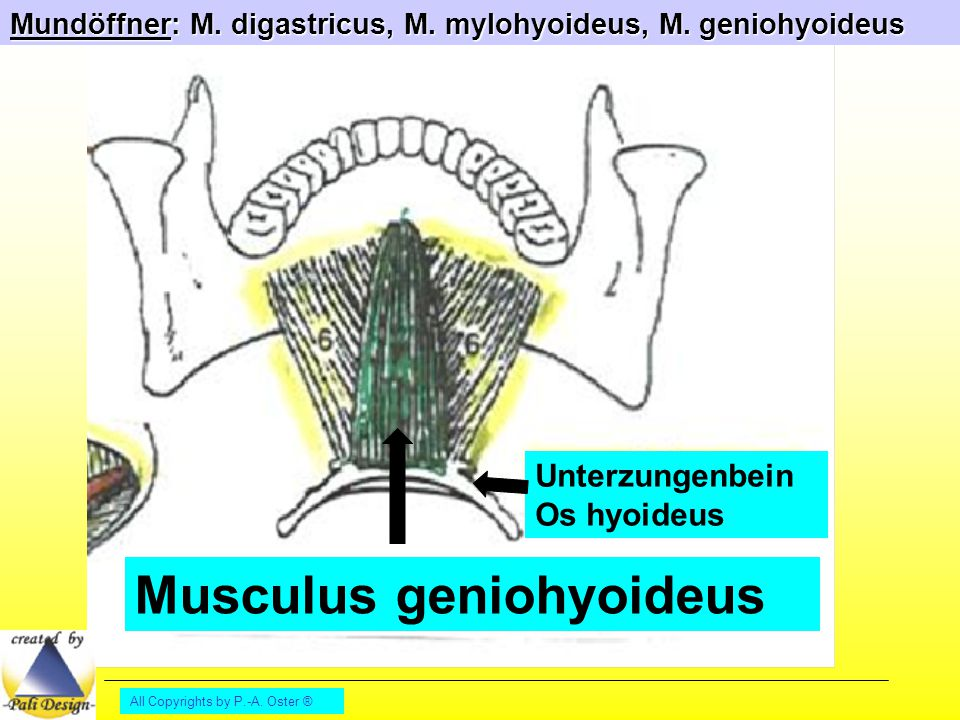 Musculus geniohyoideus