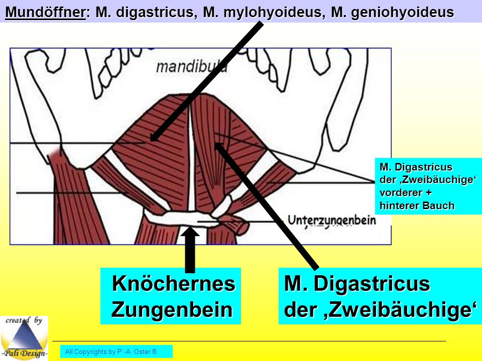 Knöchernes Zungenbein M. Digastricus der 'Zweibäuchige'