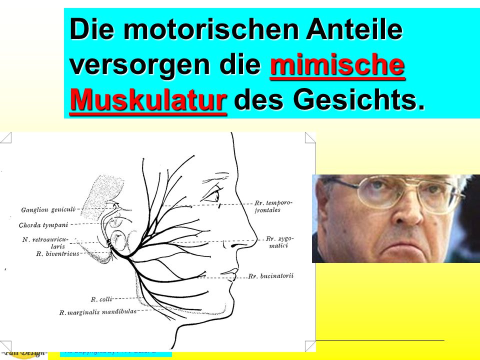 Die motorischen Anteile versorgen die mimische Muskulatur des Gesichts.