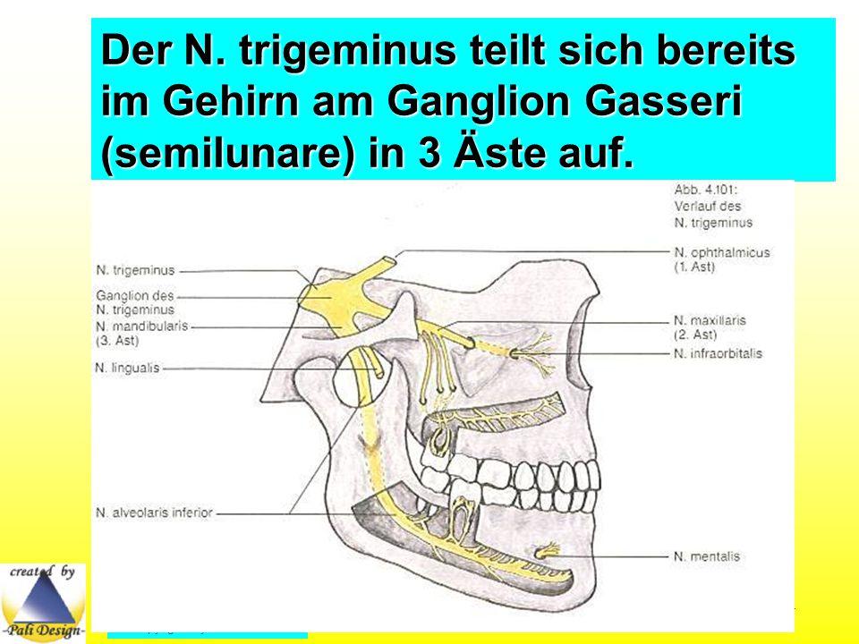Der N. trigeminus teilt sich bereits im Gehirn am Ganglion Gasseri (semilunare) in 3 Äste auf.