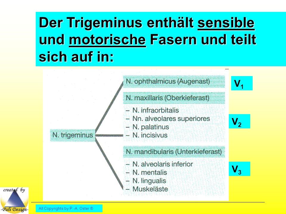 Der Trigeminus enthält sensible und motorische Fasern und teilt sich auf in: