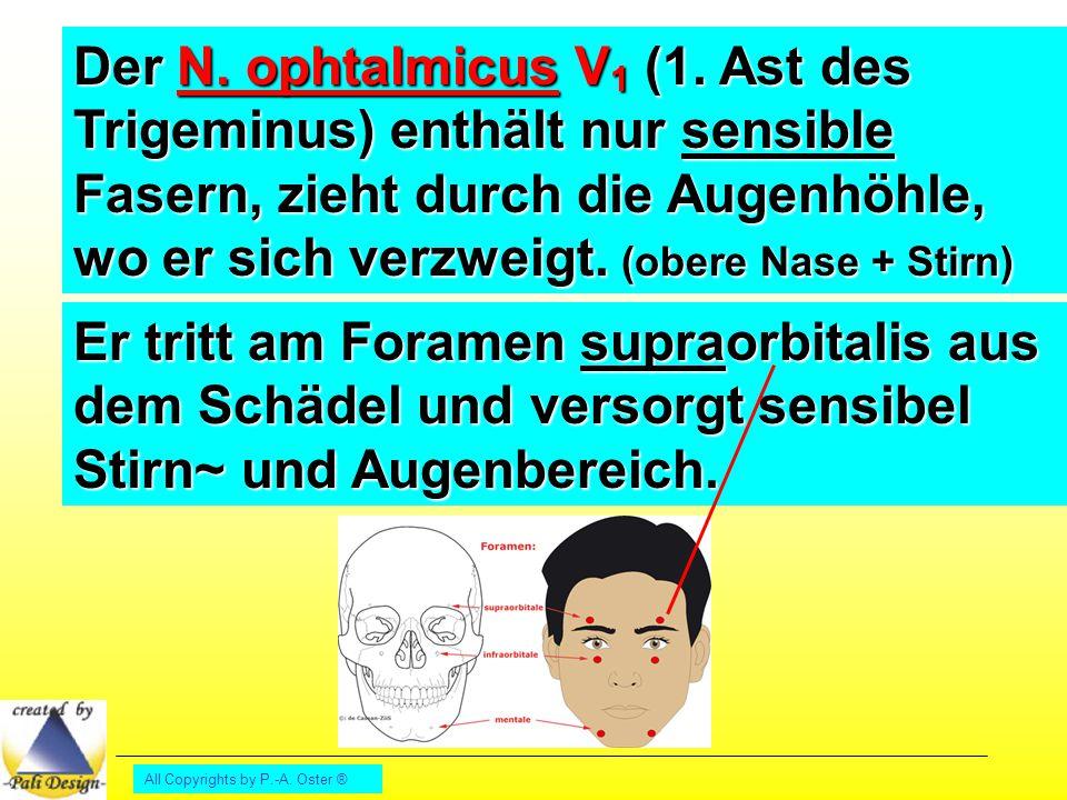 Der N. ophtalmicus V1 (1. Ast des Trigeminus) enthält nur sensible Fasern, zieht durch die Augenhöhle, wo er sich verzweigt. (obere Nase + Stirn)