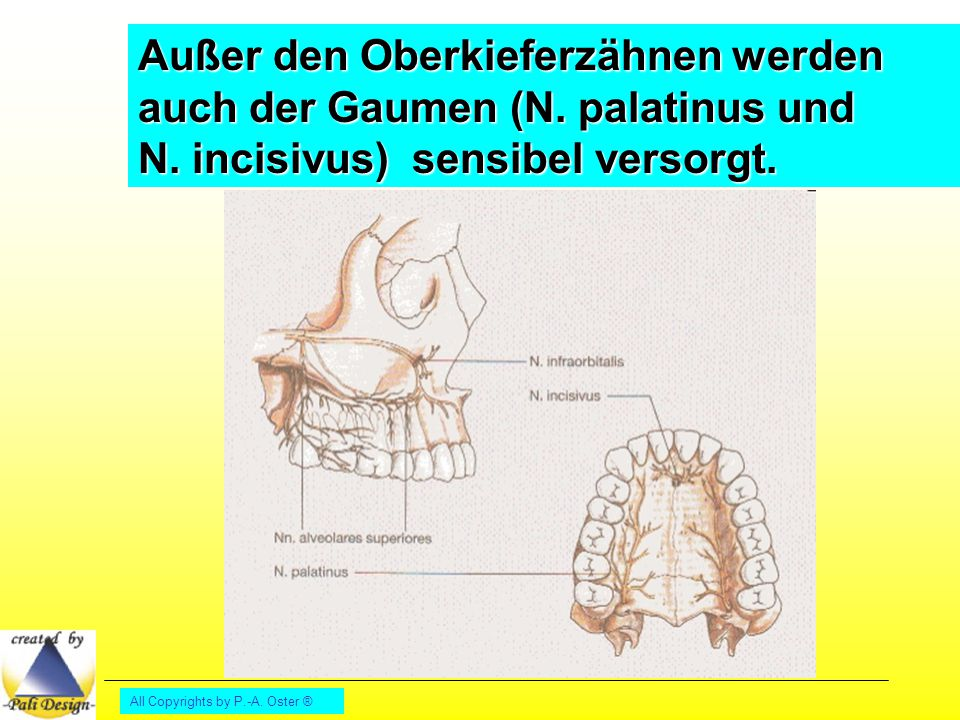 Außer den Oberkieferzähnen werden auch der Gaumen (N. palatinus und N