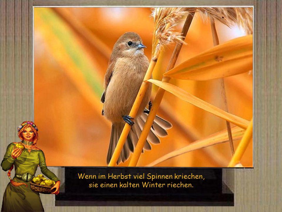 Wenn im Herbst viel Spinnen kriechen, sie einen kalten Winter riechen.