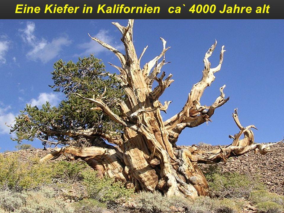 Eine Kiefer in Kalifornien ca` 4000 Jahre alt