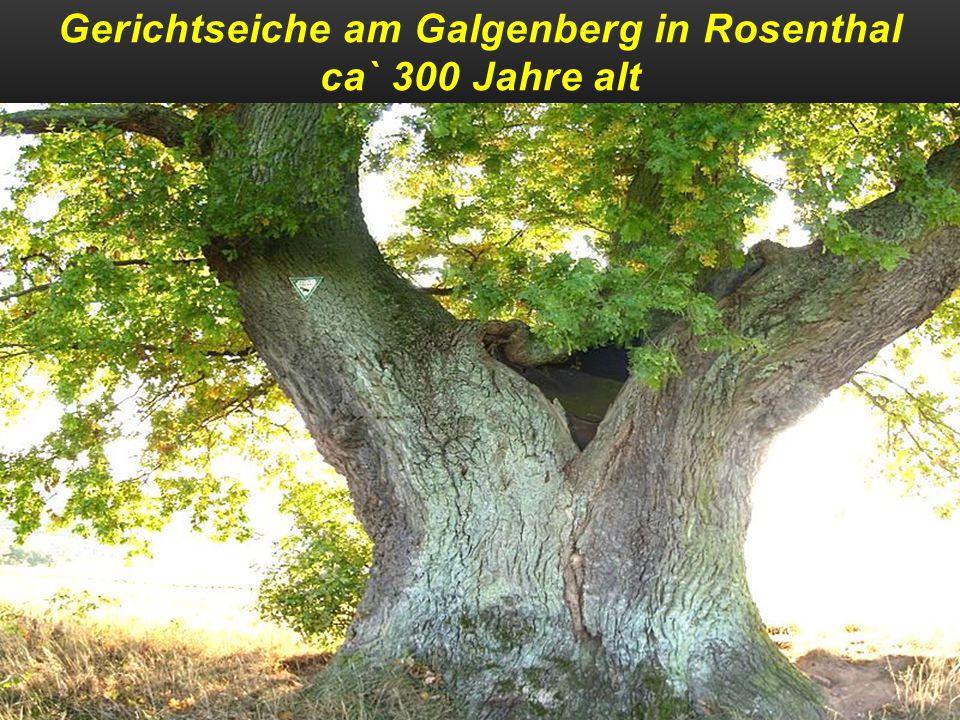 Gerichtseiche am Galgenberg in Rosenthal ca` 300 Jahre alt