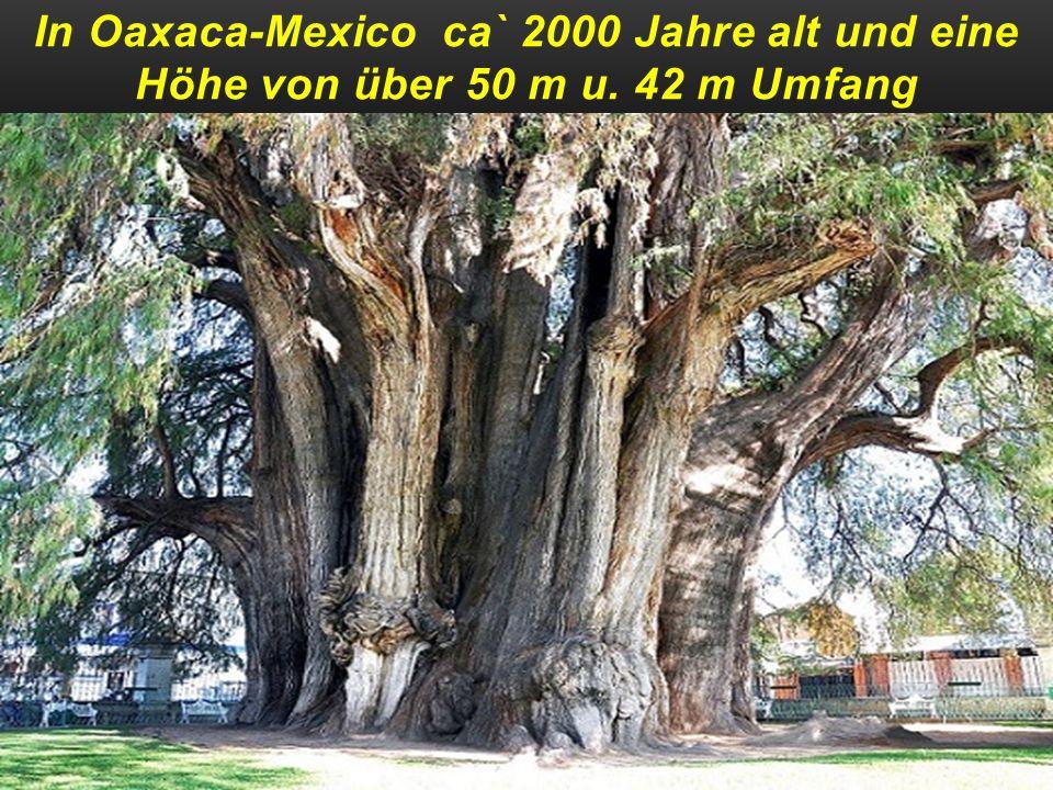 In Oaxaca-Mexico ca` 2000 Jahre alt und eine Höhe von über 50 m u