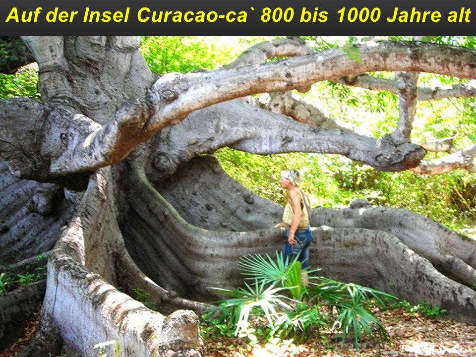 Auf der Insel Curacao-ca` 800 bis 1000 Jahre alt