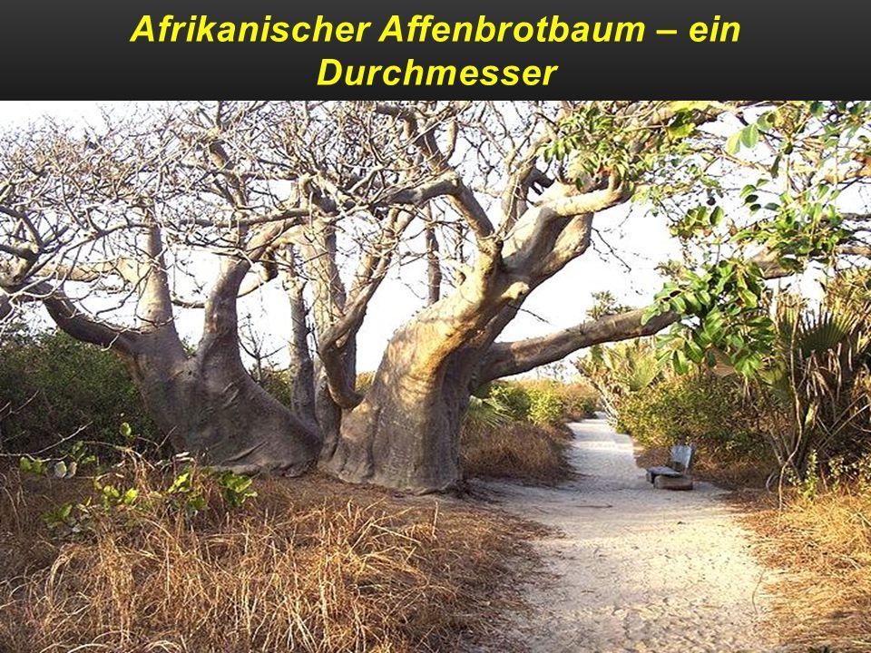 Afrikanischer Affenbrotbaum – ein Durchmesser von 10,64 m u-ca` 800 Jahre alt