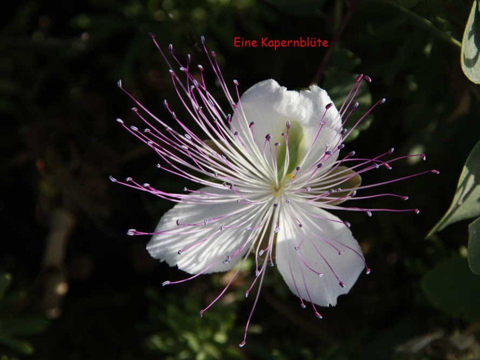 Eine Kapernblüte