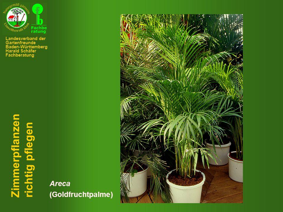 Zimmerpflanzen richtig pflegen Areca (Goldfruchtpalme)