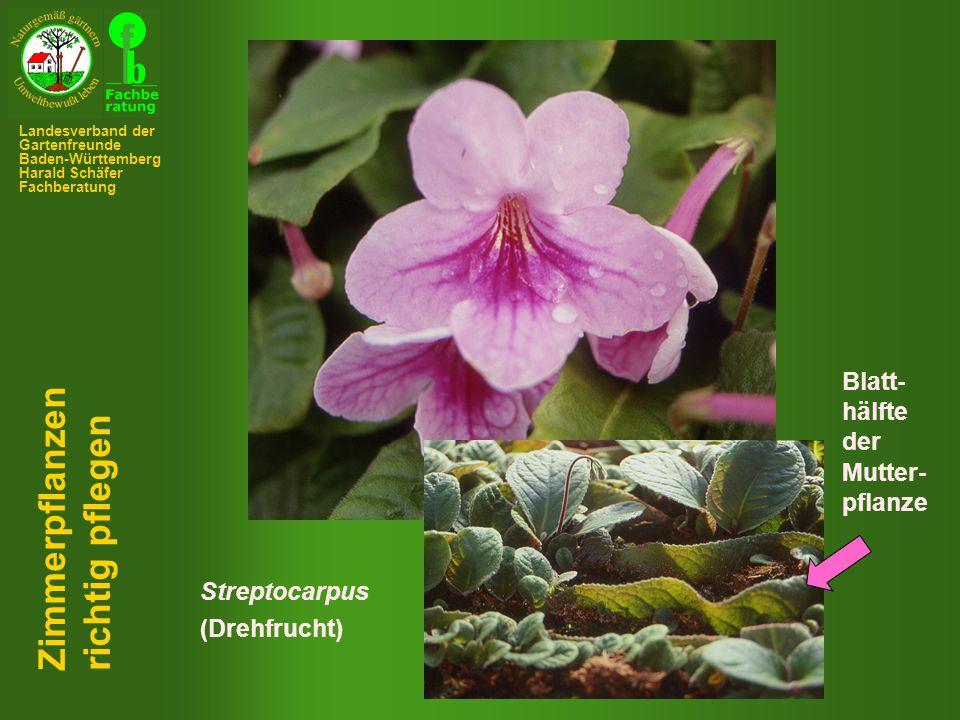 Zimmerpflanzen richtig pflegen Blatt- hälfte der Mutter- pflanze