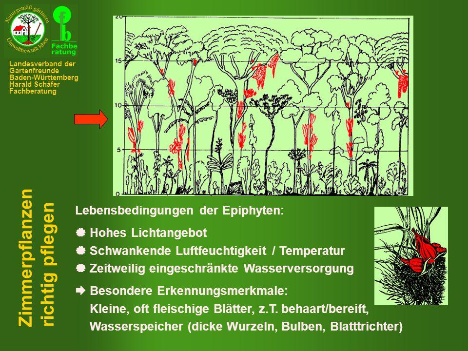 Zimmerpflanzen richtig pflegen Lebensbedingungen der Epiphyten: