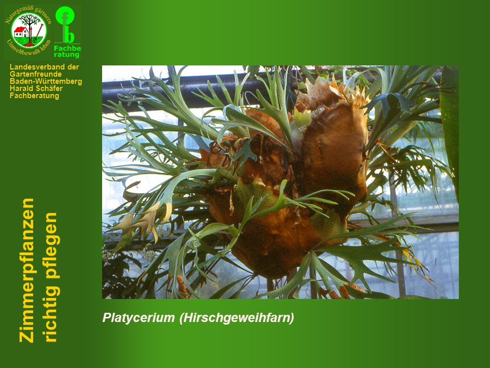 Zimmerpflanzen richtig pflegen Platycerium (Hirschgeweihfarn)