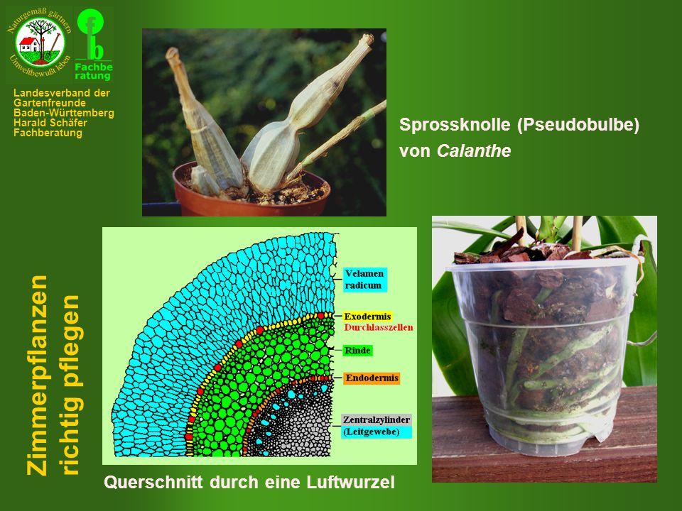 Zimmerpflanzen richtig pflegen Sprossknolle (Pseudobulbe) von Calanthe