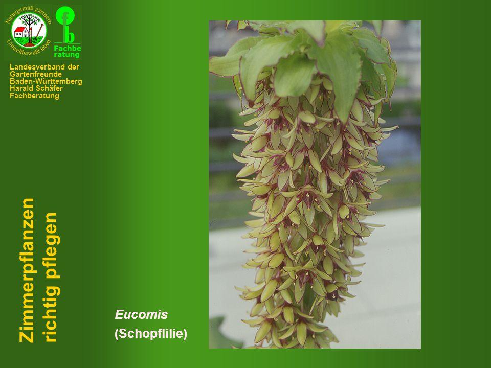 Zimmerpflanzen richtig pflegen Eucomis (Schopflilie)