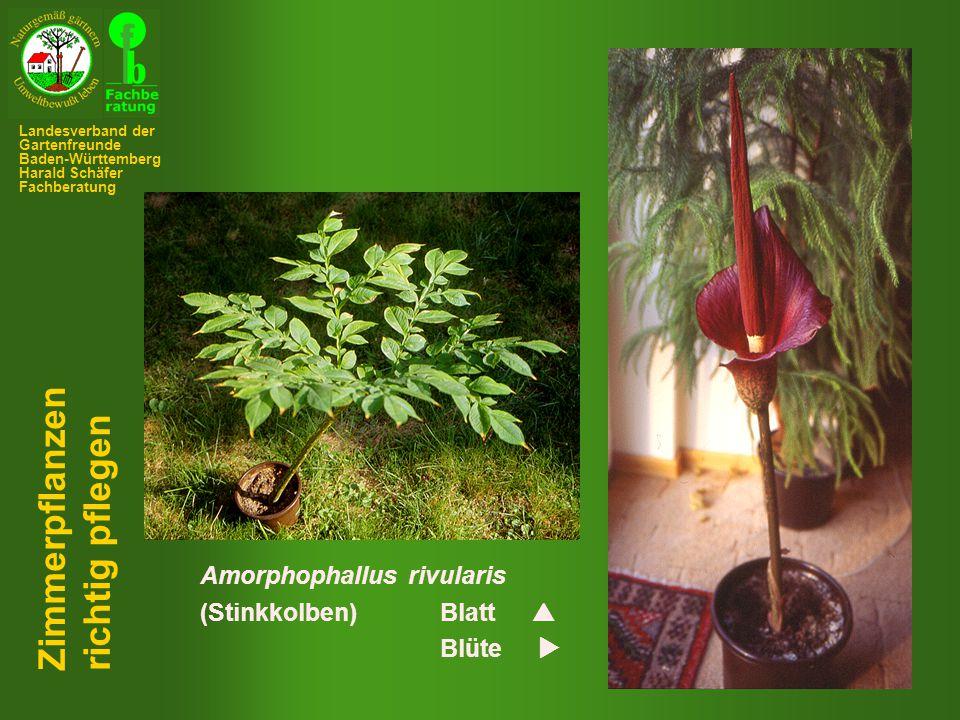 Zimmerpflanzen richtig pflegen Amorphophallus rivularis