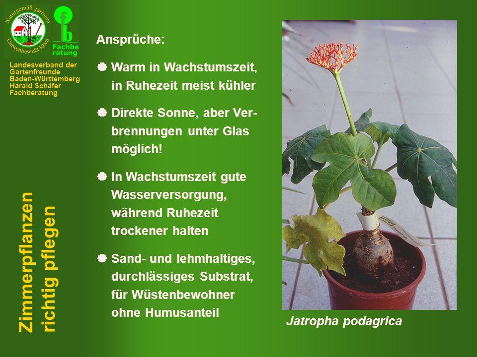Zimmerpflanzen richtig pflegen Ansprüche:  Warm in Wachstumszeit,