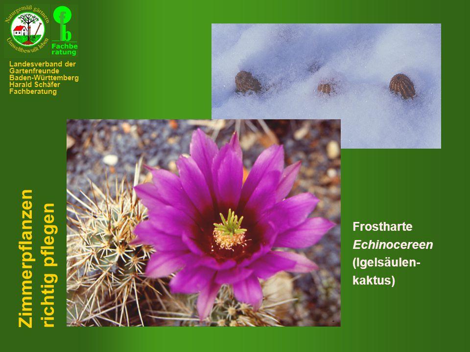 Zimmerpflanzen richtig pflegen Frostharte Echinocereen (Igelsäulen-