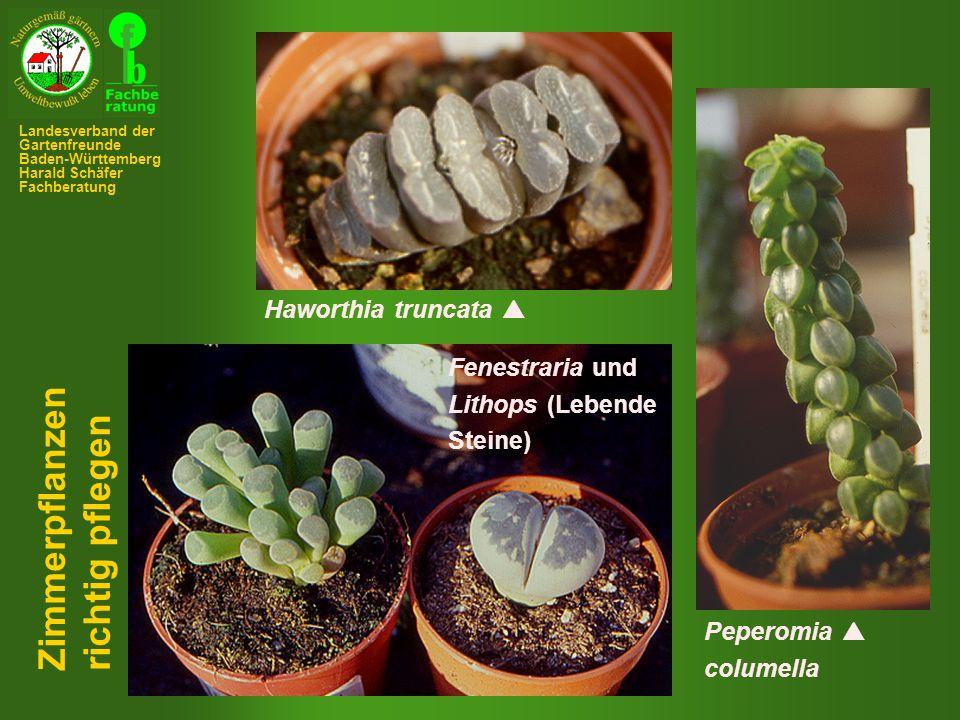 Zimmerpflanzen richtig pflegen Haworthia truncata  Fenestraria und