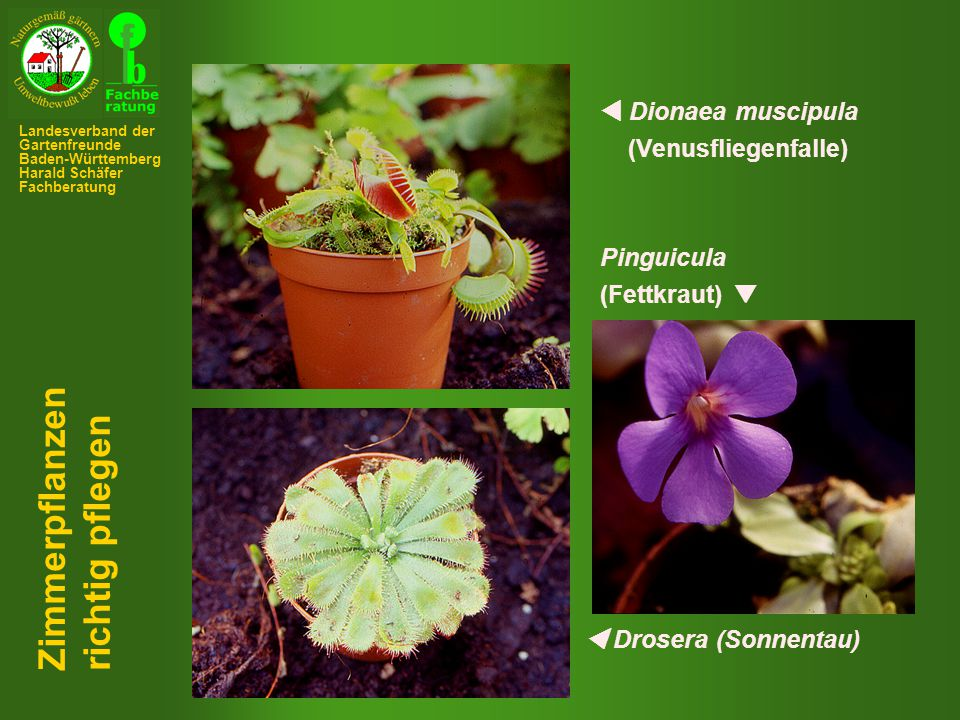 Zimmerpflanzen richtig pflegen  Dionaea muscipula (Venusfliegenfalle)
