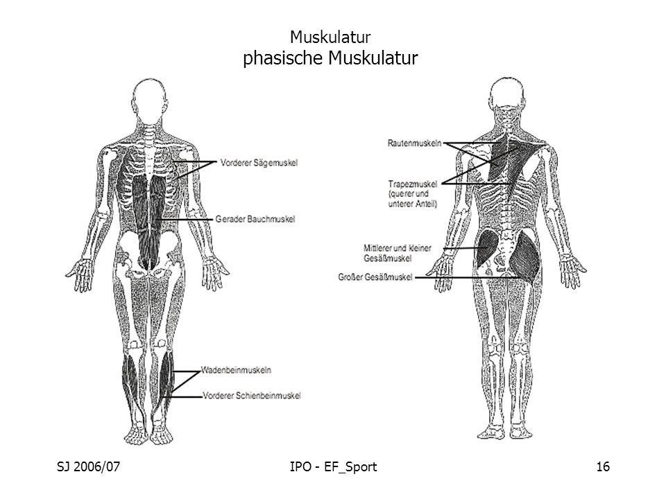 Muskulatur phasische Muskulatur