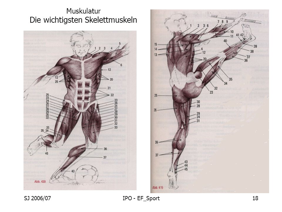 Muskulatur Die wichtigsten Skelettmuskeln