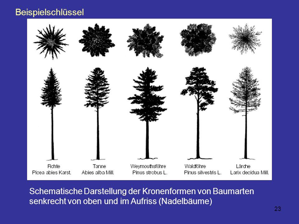 Beispielschlüssel Schematische Darstellung der Kronenformen von Baumarten senkrecht von oben und im Aufriss (Nadelbäume)