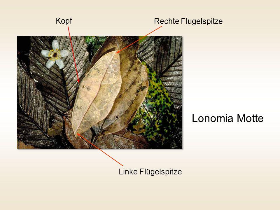 Kopf Rechte Flügelspitze Lonomia Motte Linke Flügelspitze