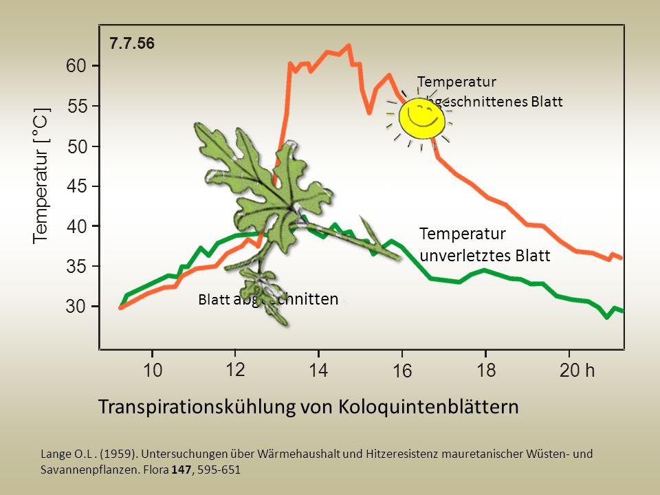 Transpirationskühlung von Koloquintenblättern