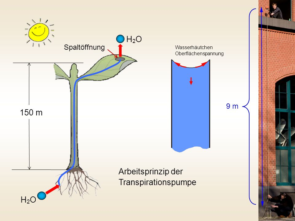Arbeitsprinzip der Transpirationspumpe