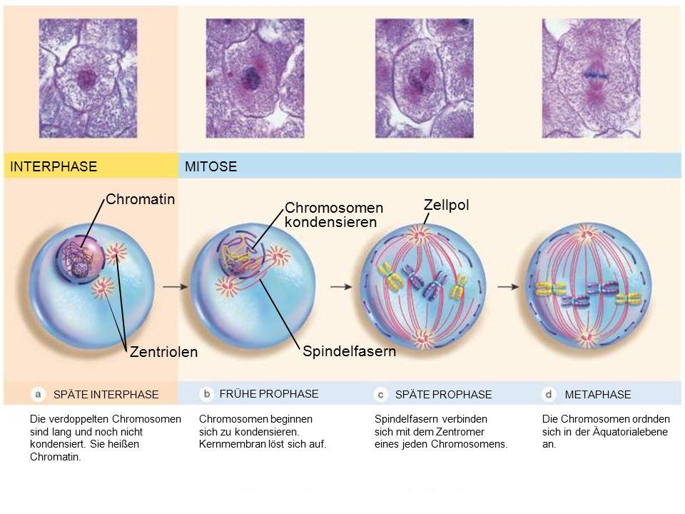Chromatin Chromosomen Zellpol kondensieren Zentriolen Spindelfasern