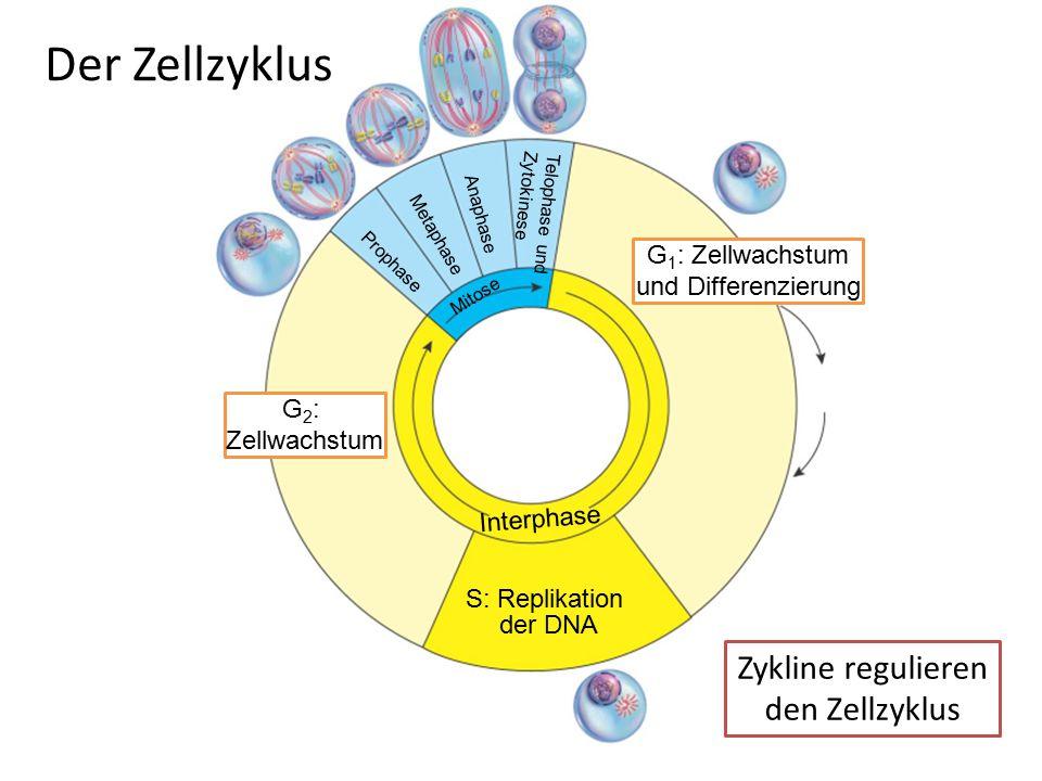 Der Zellzyklus Zykline regulieren den Zellzyklus G1: Zellwachstum
