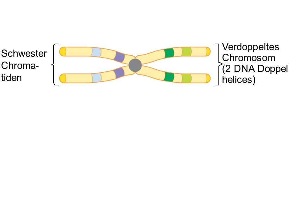 Verdoppeltes Schwester Chromosom Chroma- (2 DNA Doppel helices) tiden