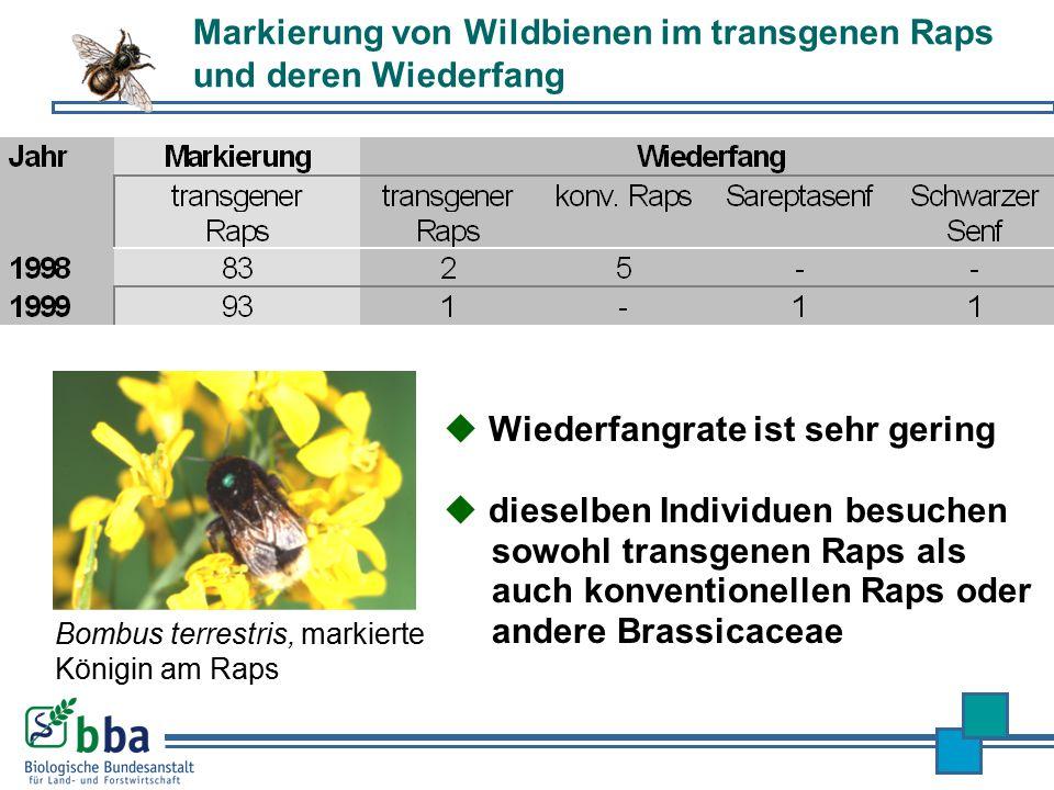 Markierung von Wildbienen im transgenen Raps und deren Wiederfang