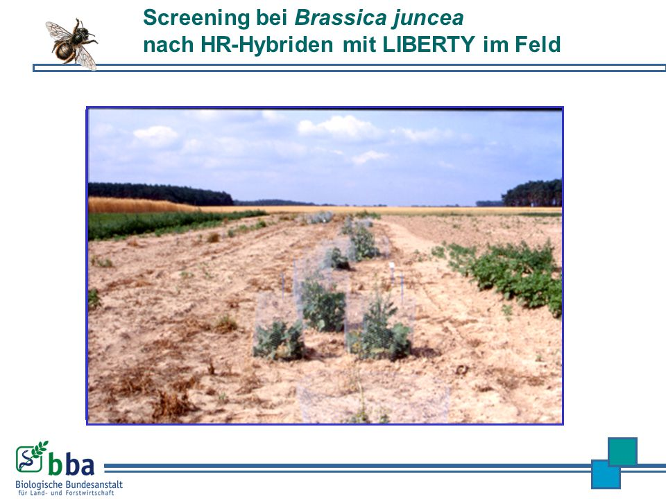 Screening bei Brassica juncea