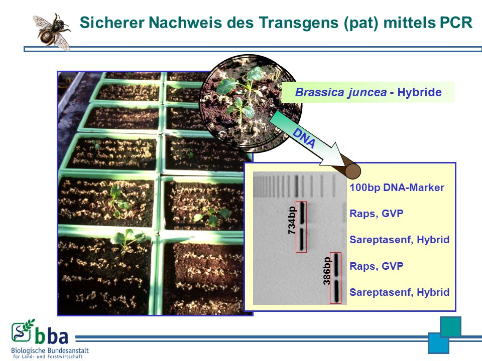 Brassica juncea - Hybride