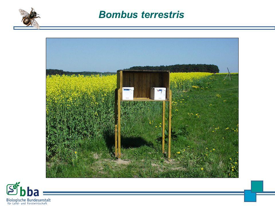 Bombus terrestris