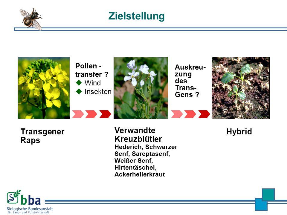 Zielstellung Transgener Raps Verwandte Kreuzblütler Hybrid Pollen -