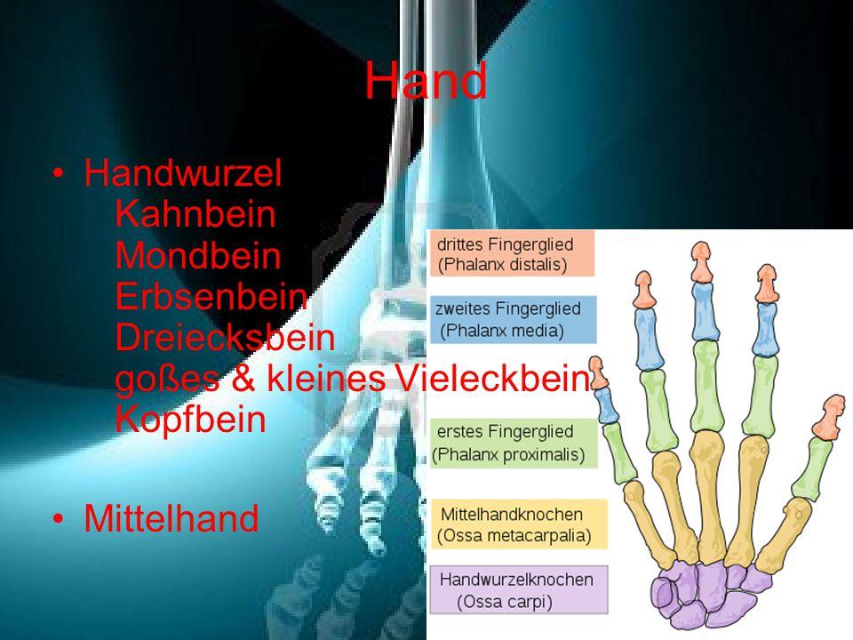Hand Handwurzel Kahnbein Mondbein Erbsenbein Dreiecksbein goßes & kleines Vieleckbein Kopfbein.