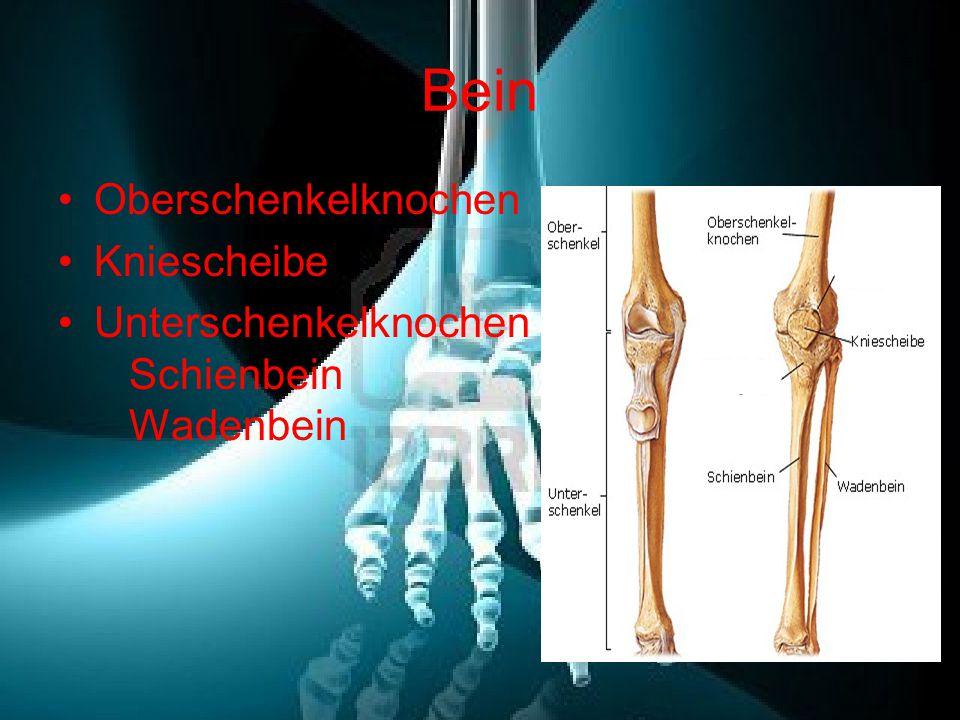 Bein Oberschenkelknochen Kniescheibe