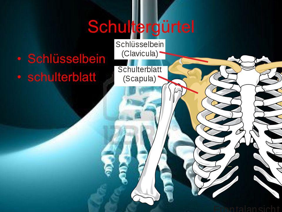 Schultergürtel Schlüsselbein schulterblatt