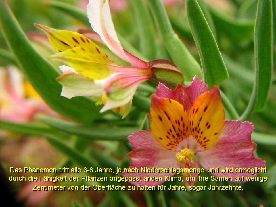Das Phänomen tritt alle 3-8 Jahre, je nach Niederschlagsmenge und wird ermöglicht durch die Fähigkeit der Pflanzen angepasst ariden Klima, um ihre Samen auf wenige Zentimeter von der Oberfläche zu halten für Jahre, sogar Jahrzehnte.