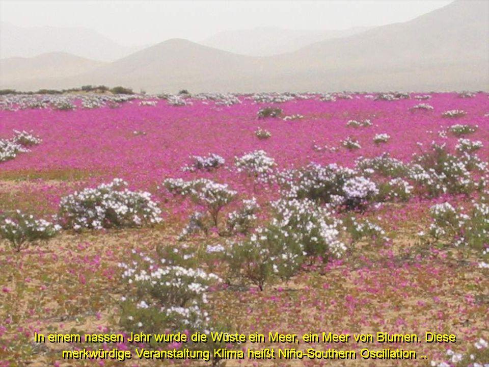 In einem nassen Jahr wurde die Wüste ein Meer, ein Meer von Blumen