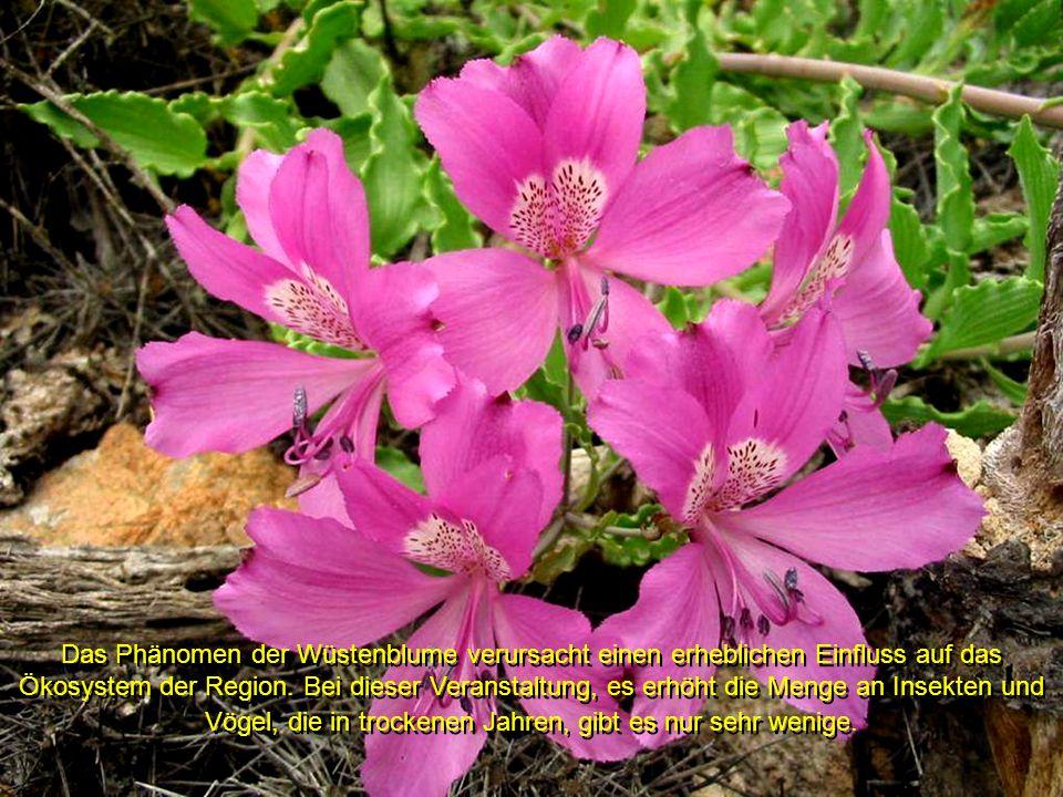 Das Phänomen der Wüstenblume verursacht einen erheblichen Einfluss auf das Ökosystem der Region.